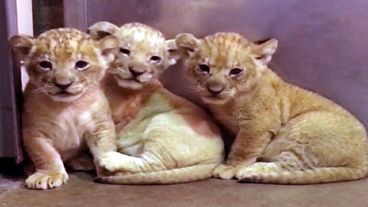 Three more lion cubs born at the Buffalo Zoo