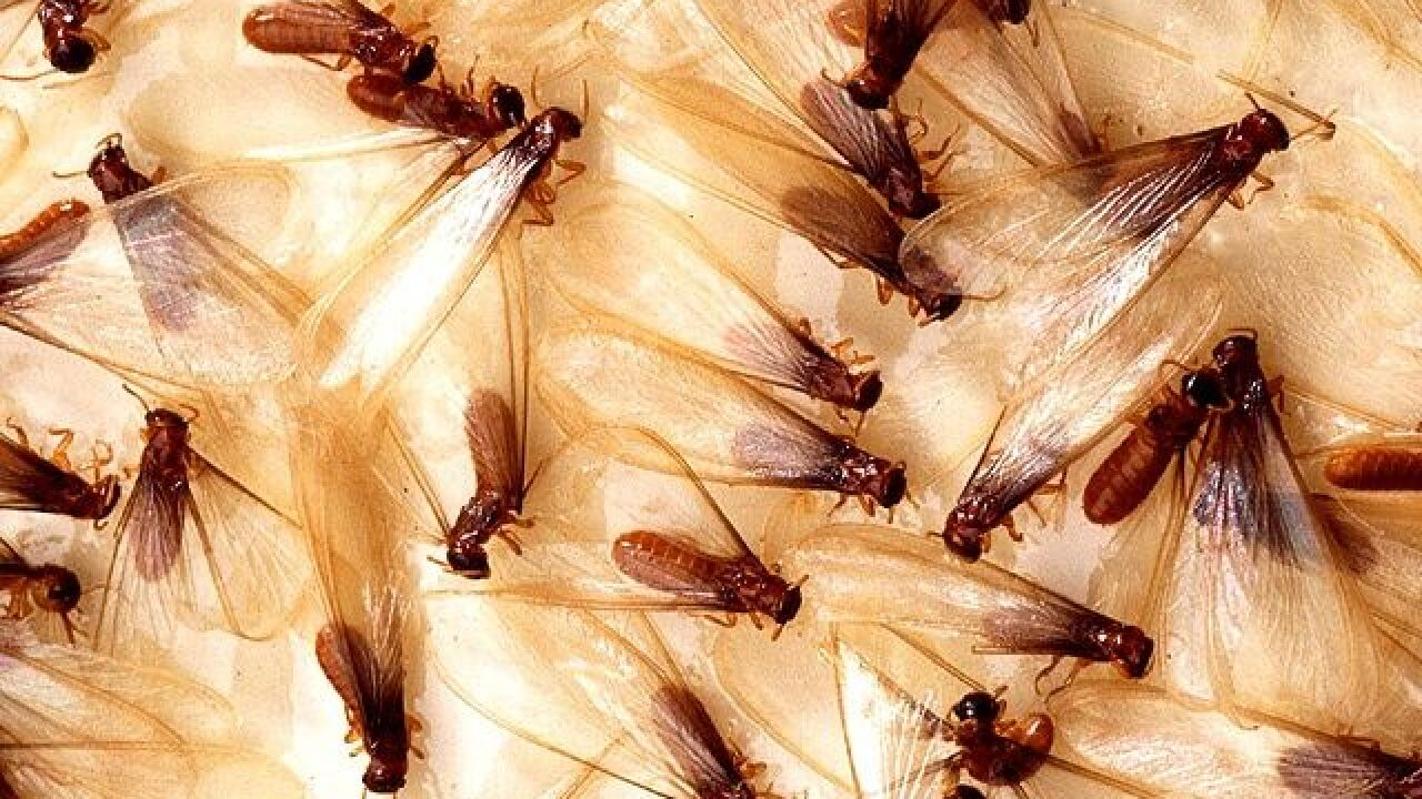 2 Exotic Termites Find Love in Florida, Worrying Researchers