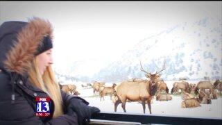 Uniquely Utah: Hundreds of elk at HardwareRanch