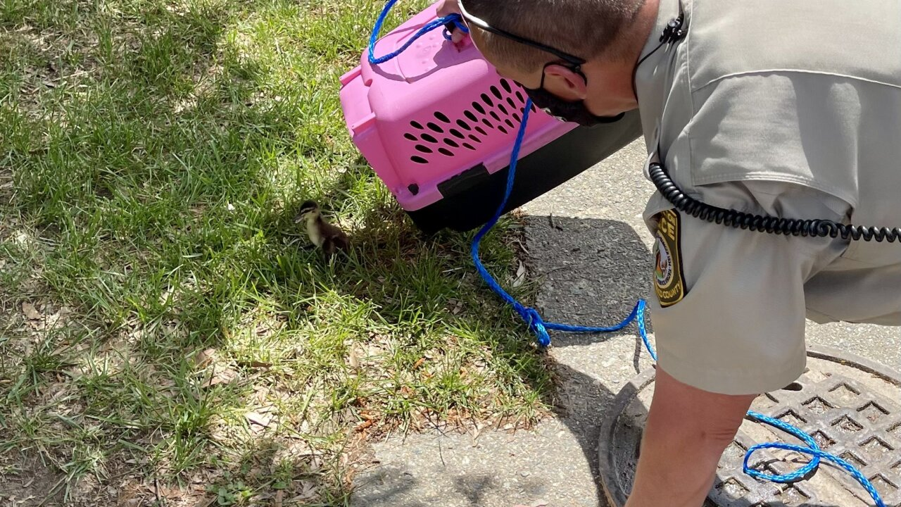Ducks rescued from Henrico sewer drain