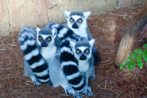 florida-aquarium-lemurs.png