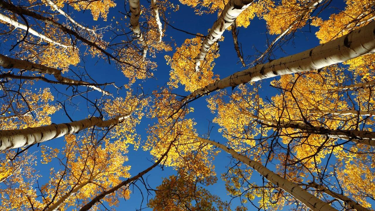 Rye Aspen Trees