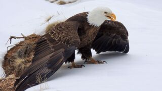 Bald eagle injured at Eleven Mile Canyon