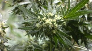 (Recreational marijuana becomes legal in Montana Jan. 1, 2021)
