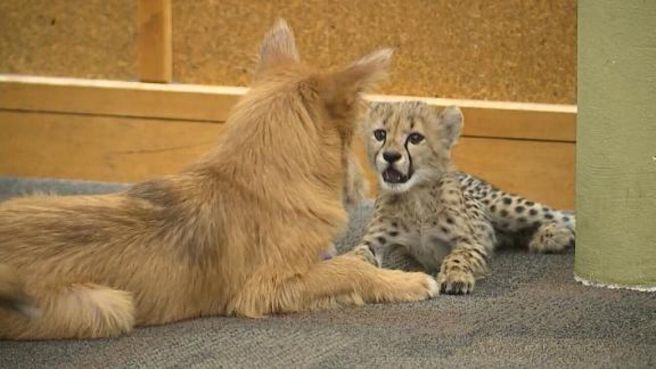 This cheetah cub's new surrogate sibling is a rescue dog — and they get on like the best of friends