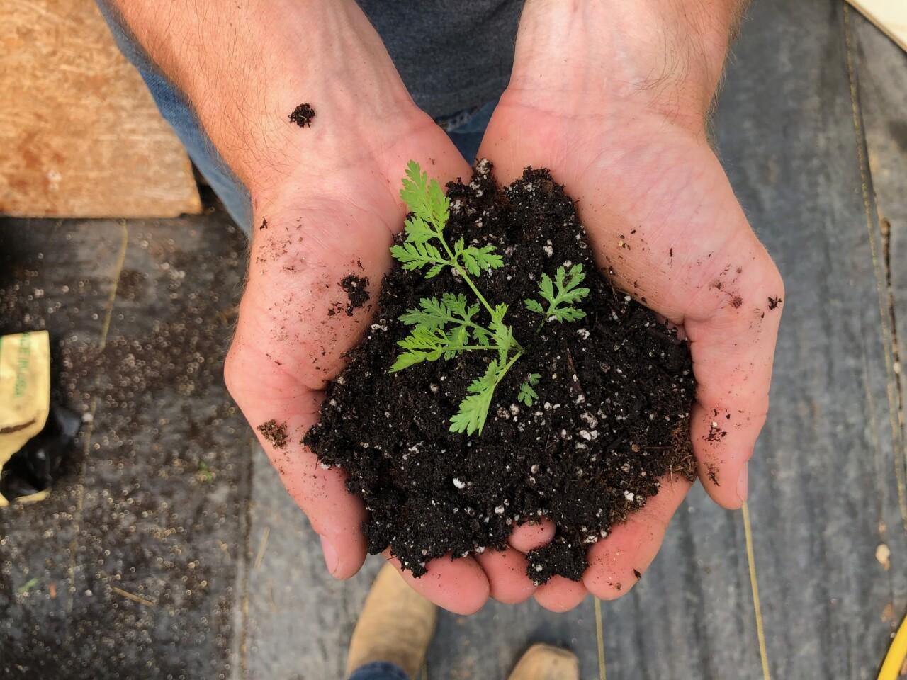 Artemisia annua seedling - Photo credit_ Patrick Perry (UKY).jpg