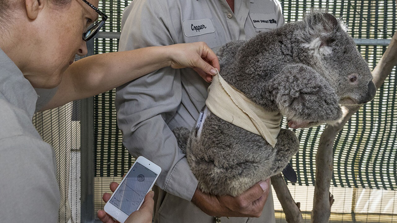 Diabetic SD Zoo koala gets help from monitor