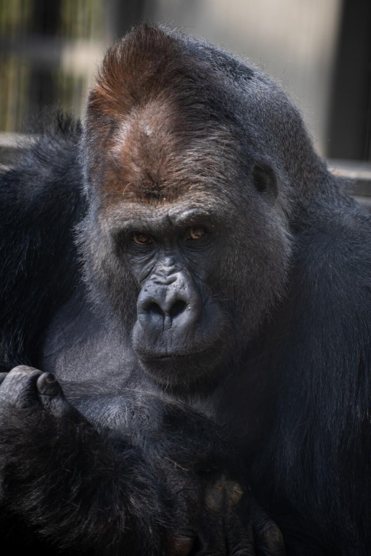 Gorilla (Oliver)