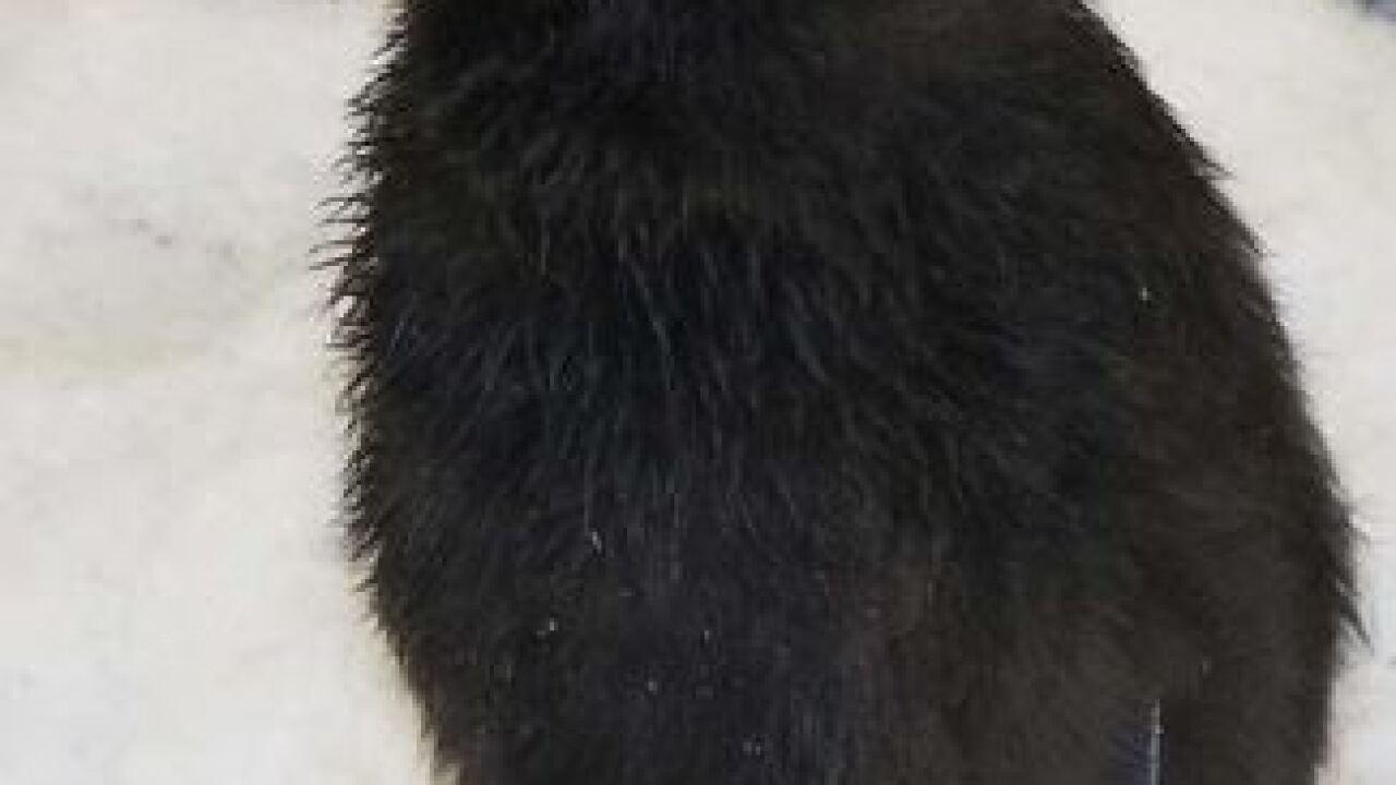 King Penguin chick makes Zoo debut Thursday