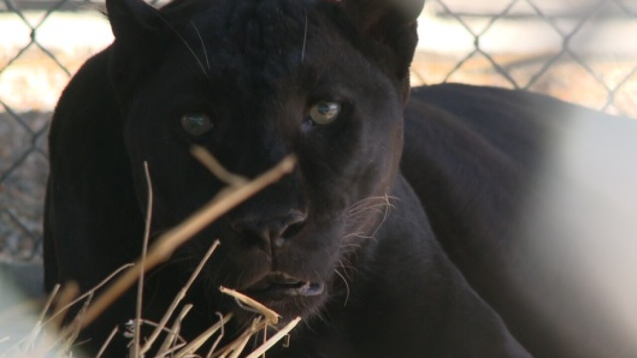 Petition calls on Peninsula SPCA to release 17-year-old black leopard tosanctuary