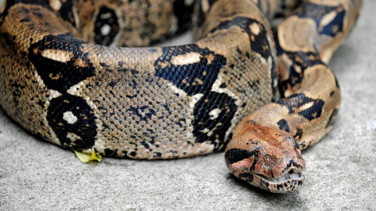 Paramedics use pocketknife to cut boa constrictor from woman's face