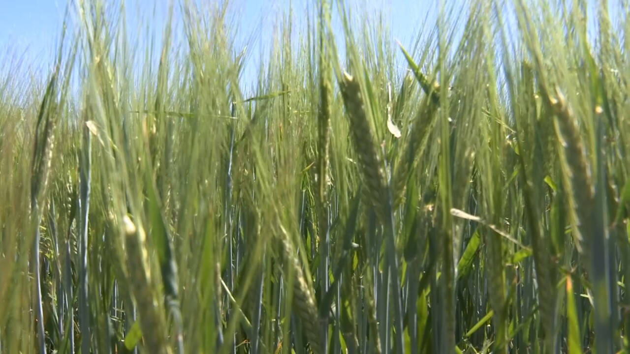 Molson Coors Barley 4.jpg