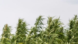 Assembly to pass hemp farming bill