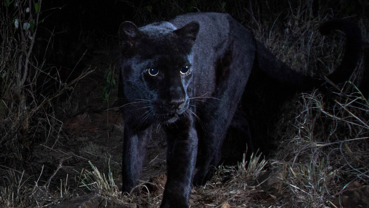 African Black Leopard Photographed For The First Time In More Than