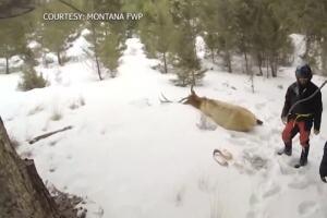 New study shows habits of elk, beetle wood