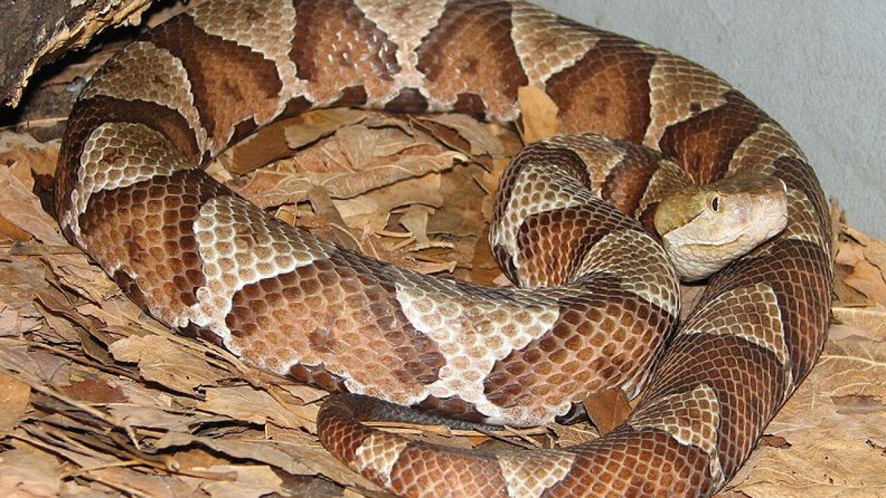 Copperhead Snake.jpg