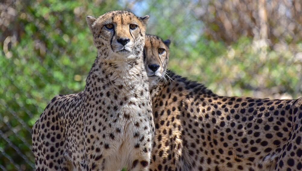 Zoo_Cheetah_08.jpg