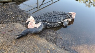 Poached gator, missing tail and jaw, found at Stuart boat ramp