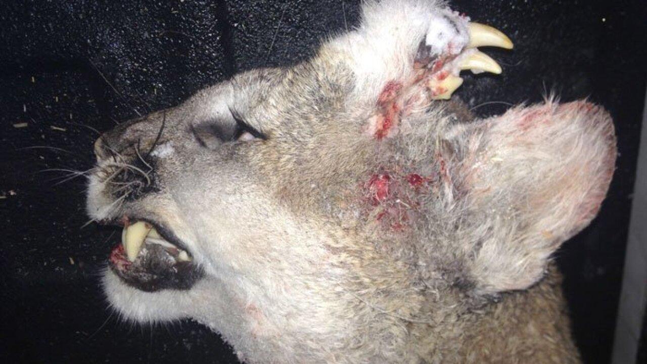 Photos of deformed mountain lion in Idaho an Internet sensation, man who encountered catspeaks
