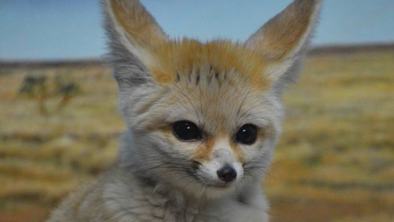 Cuteness alert: Cincinnati Zoo's fennec fox is expecting kits