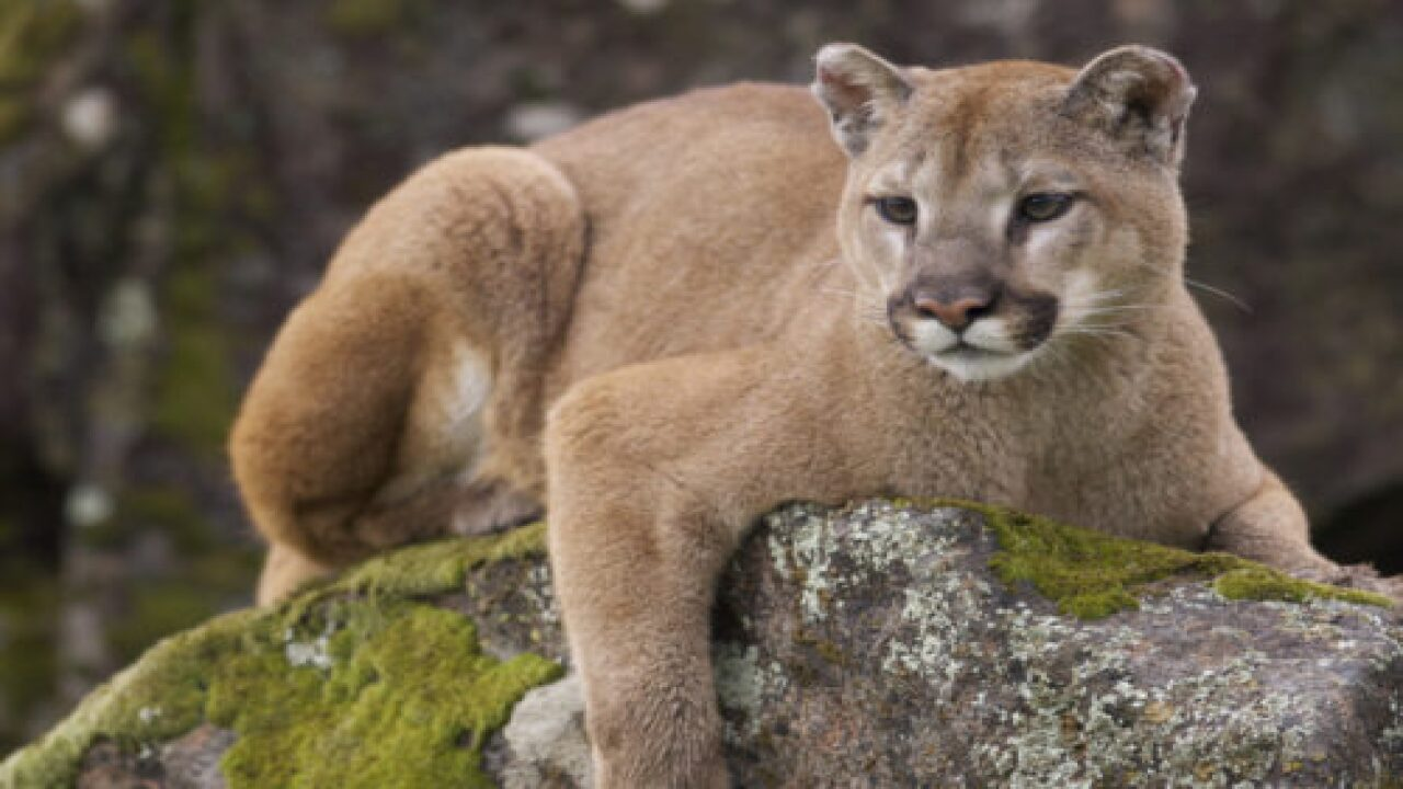 This Woman Scared Away A Cougar With A Metallica Song, And Here's How The Band Responded