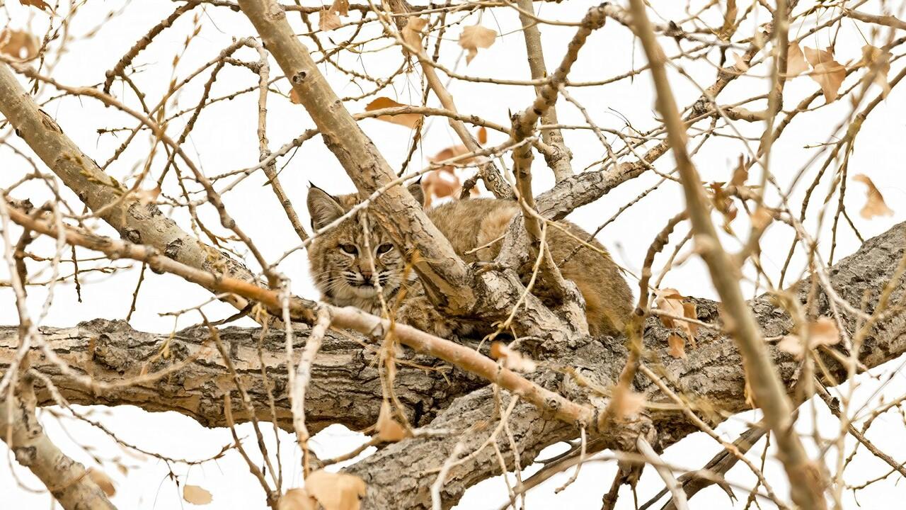 Bobcat Larry Marr.jpg