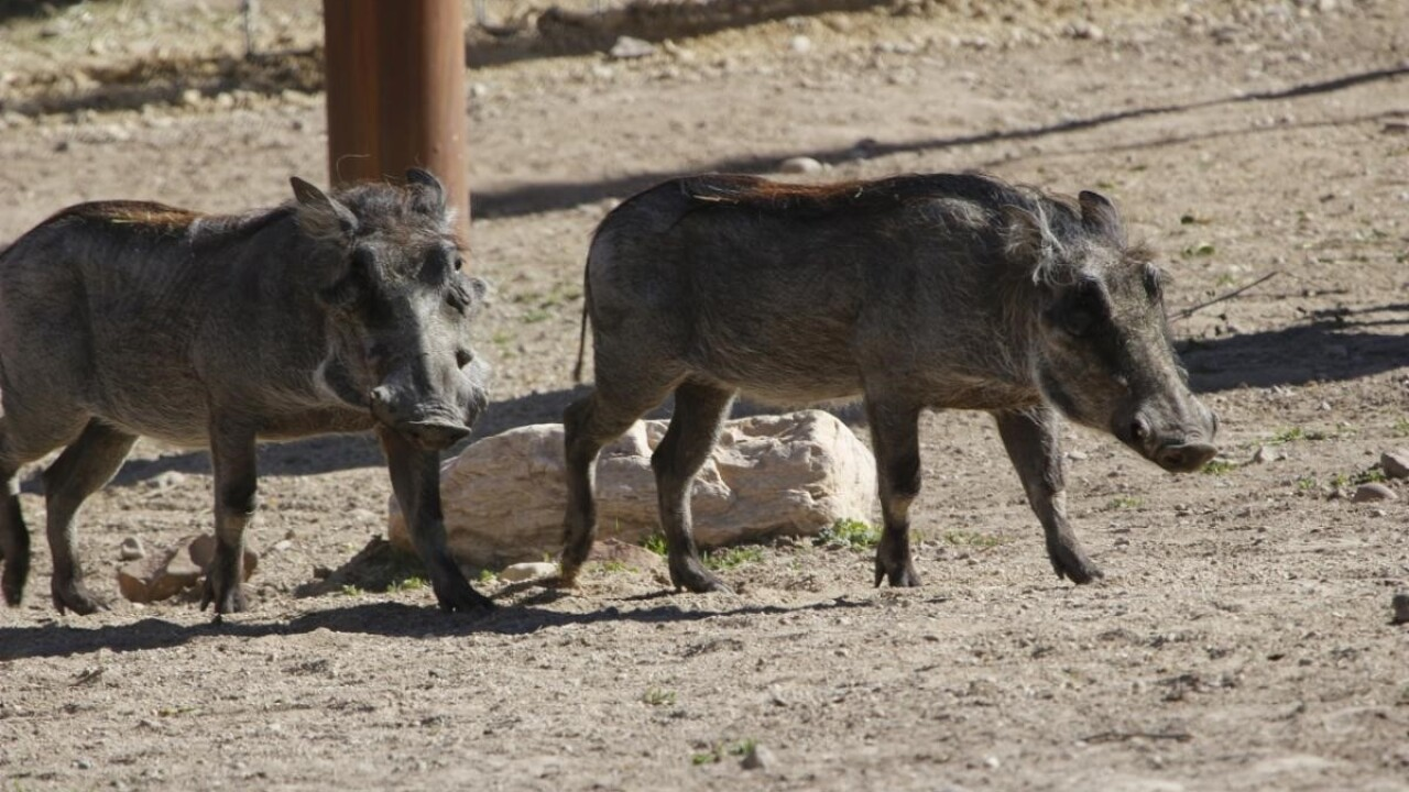 Warthog dies at Hogle Zoo