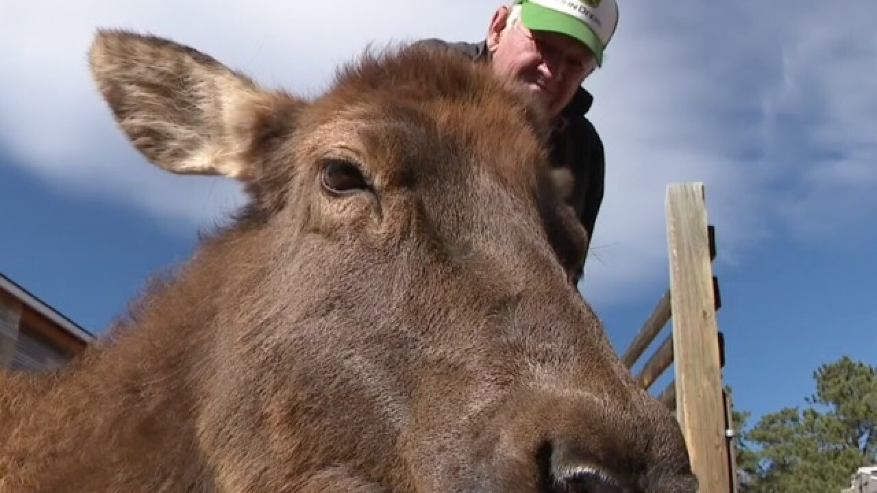 Colo. man has cared for elk for almost 30 years