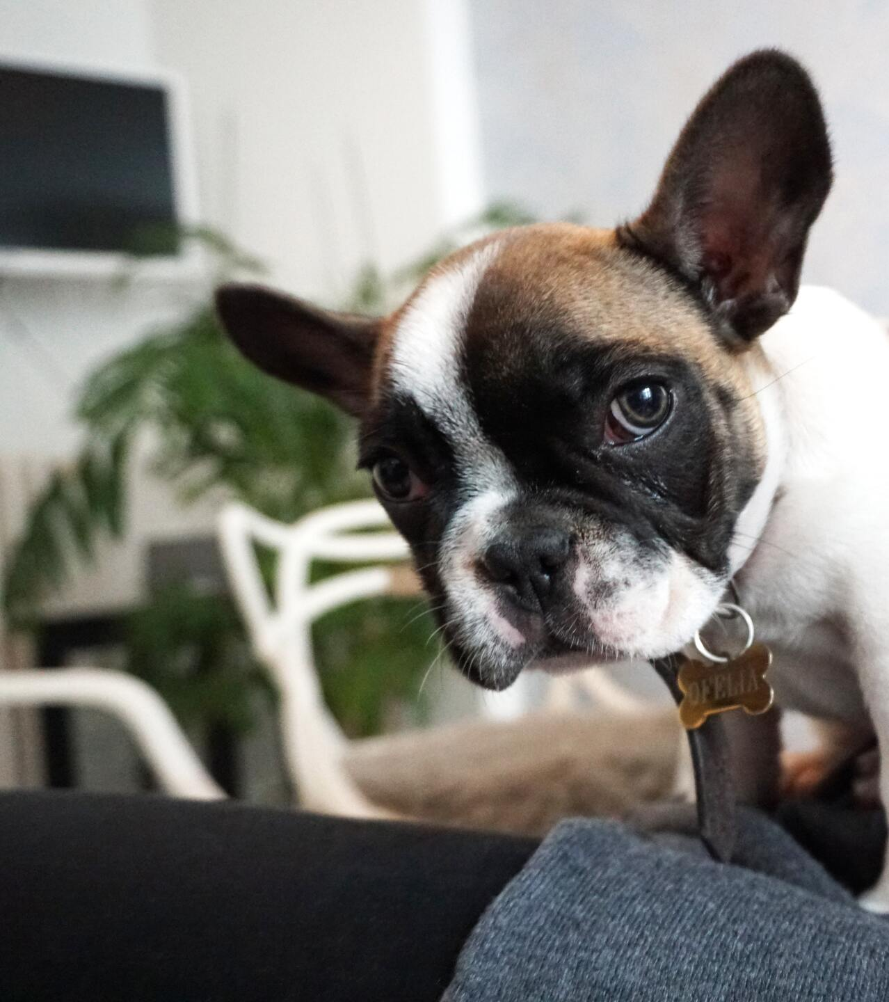 These are the top 7 most popular dog breeds in metro Detroit