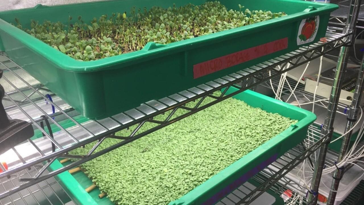 Health benefits of eating microgreens