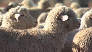 SHEEP IN MONTANA