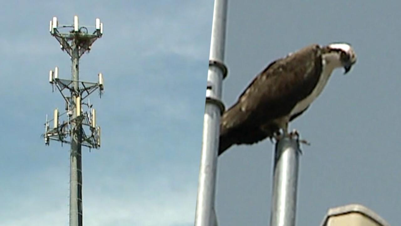 Osprey in Grand Rapids