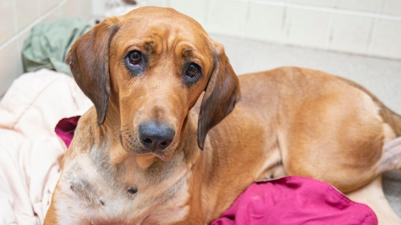 Copper American Humane Society