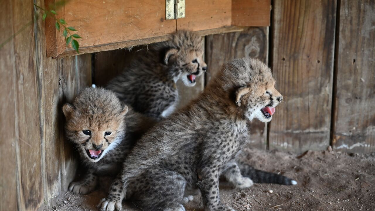 Metro Richmond Zoo Valias Cheetahs 3.jpeg