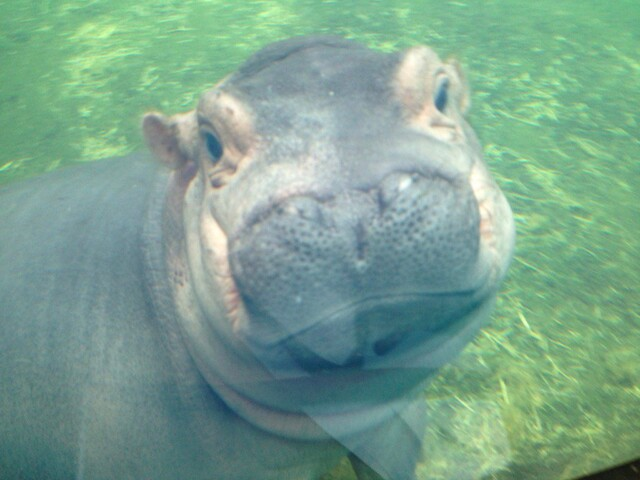 Fiona's big adventure out in the deep hippo pool