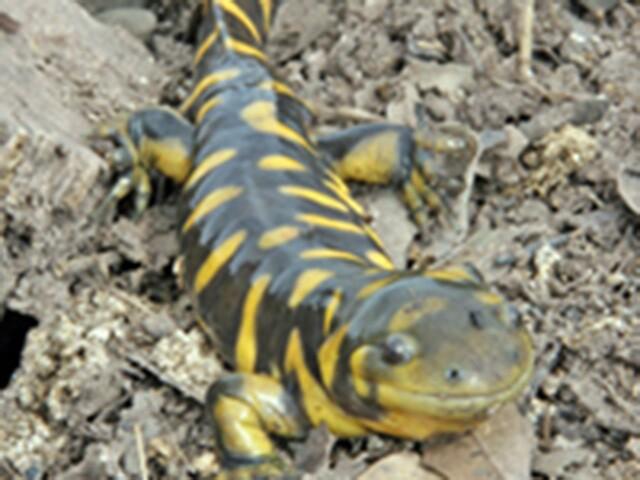 Seen them? 44 endangered, threatened animals in AZ
