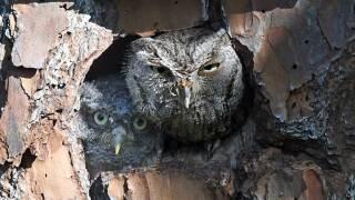 wptv-baby-owl-mother-owl-birdbox.jpg