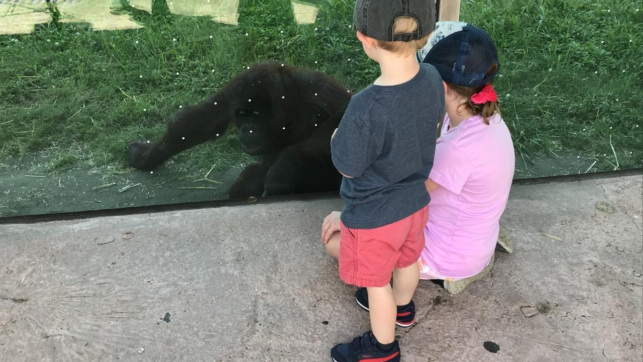 Orangutan at the Virginia Zoo