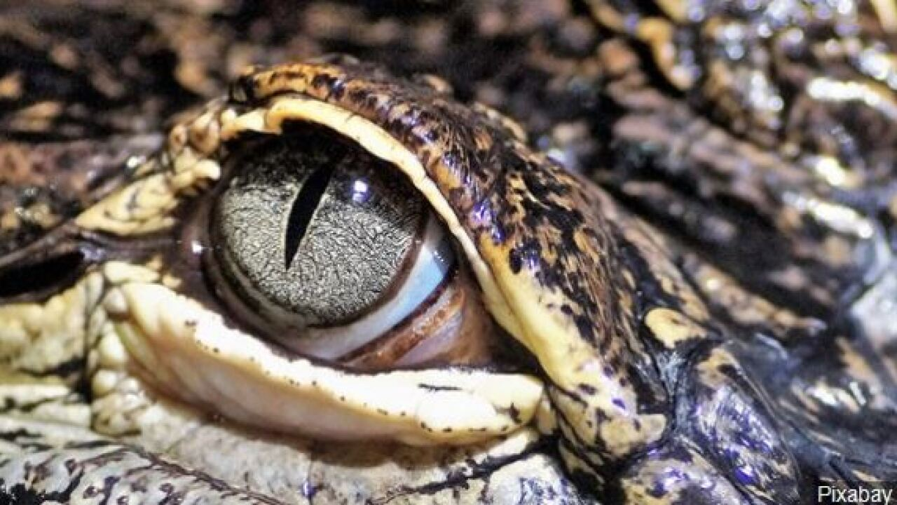 alligator eye.JPG
