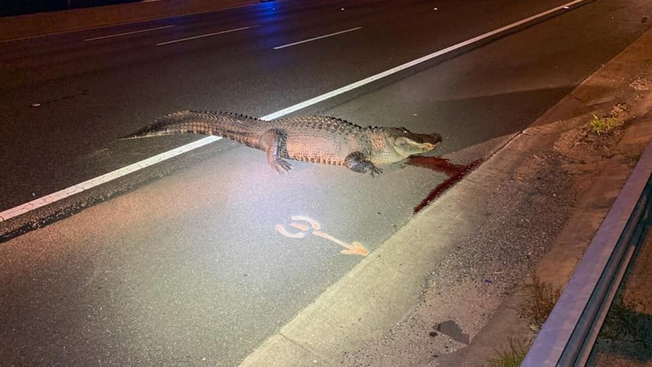 Gator weighing more than 450 pounds survives collision with semi-truck in Florida, later euthanized