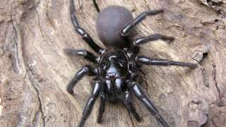 Deadly funnel-web spiders the latest threat for Australia following fires and floods