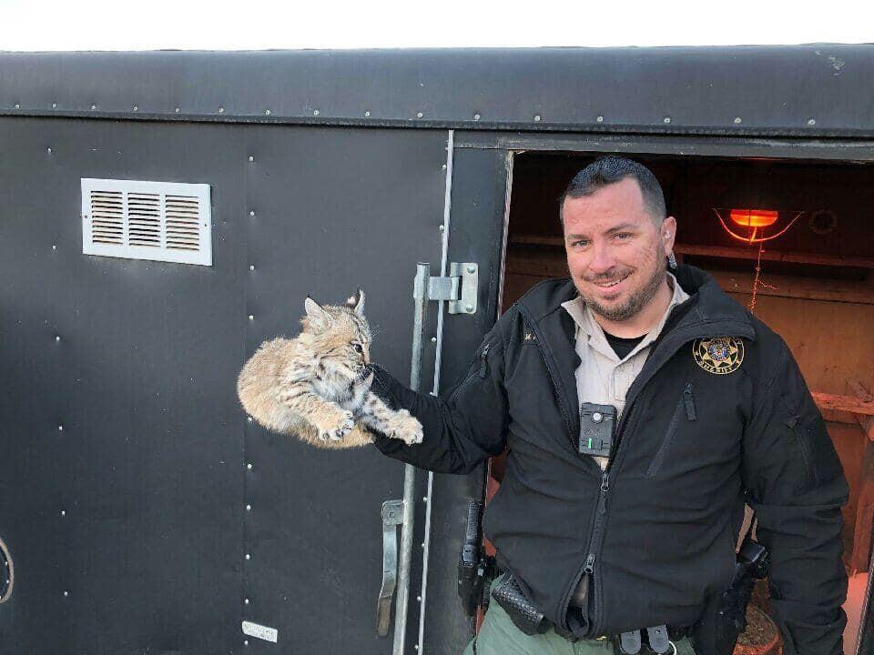 Photos: Video: Utah deputy captures baby bobcat found enjoying warmth in chickencoop