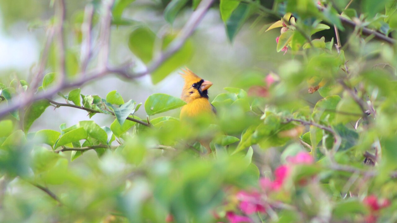 'One in a million' yellow northern cardinal spotted in Port St. Lucie neighborhood