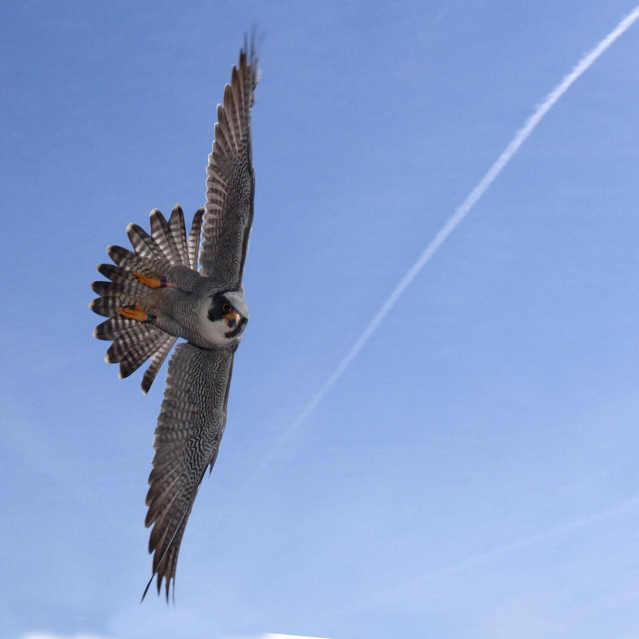 bird raptor peregrine falcon flight daniel.jpg