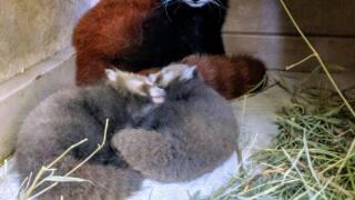 Red Panda Cubs 1.jpg