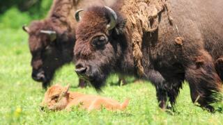 Bison calf born at the Lee G. Simmons Wildlife Safari Park