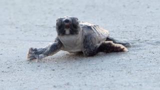 sea turtle hatchling