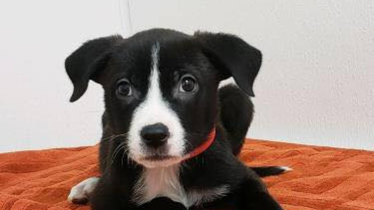 Puppy stolen from HALO Animal Rescue's Metrocenter location