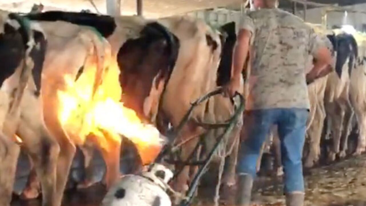 VIDEO: Blowtorches used on cows at dairy farm