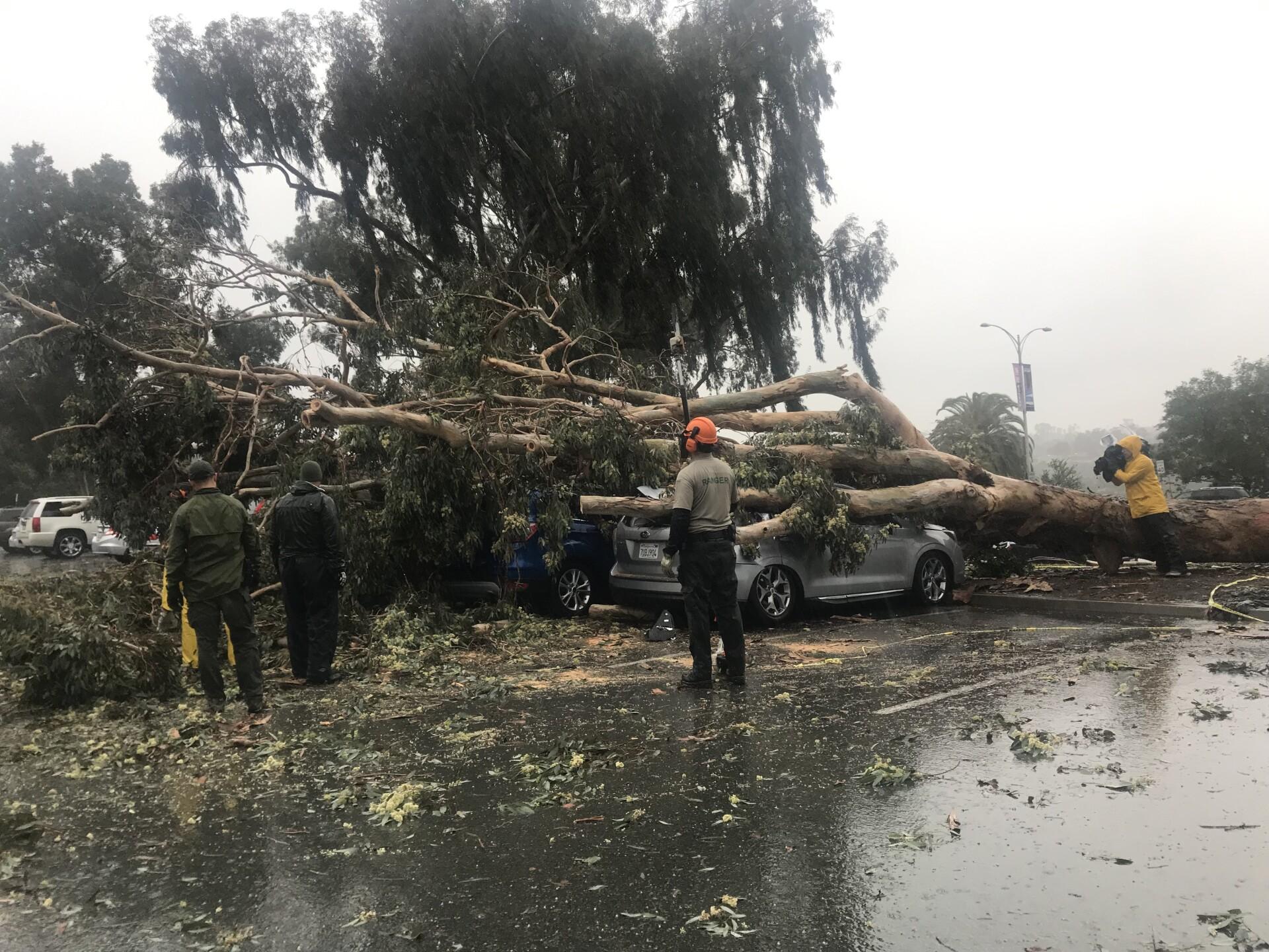 balboa park tree hits car 2